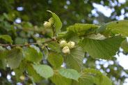Hasel - Pollenflugkalender der Praxis Tophof Südlohn