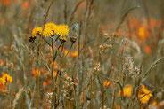 Gräser  - Pollenflugkalender der Praxis Tophof Südlohn