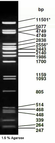 DNA Ladder and DNA size standard