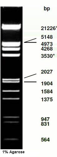 DNA Ladder, phage Eco RI and HindIII