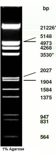 DNA Ladder, phage Eco RI and HindIII