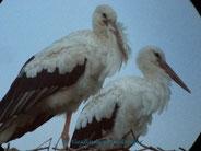 Storchenpaar Jule + George von der Eder auf dem Riedinger Horst.