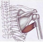 плечо, лопатка, дельта, мышца