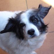 toller Mischling aus Beagle und Border Collie wartet auf Adoption