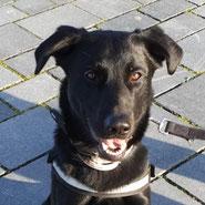 Glück gefunden: Schäferhund-Labrador Rüde jung, unkastriert, Pechpfoten e.V. Wuppertal