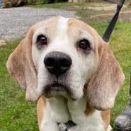 Beagle-Rüde Willi aus dem Tierheim Remscheid wurde unterstützt von Pechpfoten e.V.