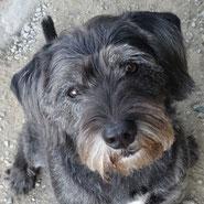 Schnauzer-Beagle-Mix Bruce hat das Herz seiner Adoptantin im Sturm erobert und ist vom Erstgespräch aus sofort zu den Glücksfellen gezogen