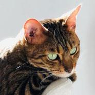 reinrassige Bengalkatze dank Pechpfoten e.V. im neuen Zuhause