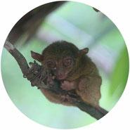 don't visit tarsiers