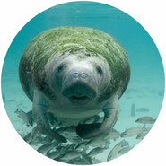 don't go swimming with manatees