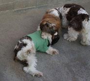 成犬コッカー ブリックの災難