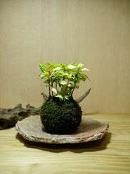 テイカカヅラ(黄金錦)  ¥1,320(税込) 受皿別    径約8㎝×高さ約18㎝