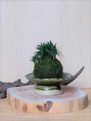 姫玉竜             ¥550(税込)         径約7cm×高さ約9cm