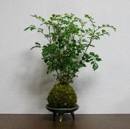 シマトネリコ               ¥1,320(税込)受皿別            径約7㎝×高さ約25㎝