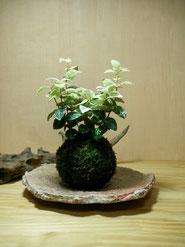 初雪かづら      ¥1,290(税込) 受皿別    径約㎝×高さ約㎝  販売済