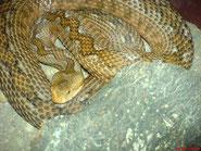 Weibchen von Kykladeninsel ( Paros )