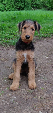 Maja, Airedale Terrier