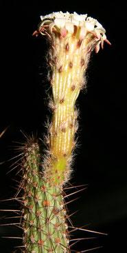 Leocereus bahiensis ssp. urandianus
