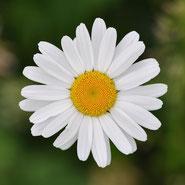 Margerite, Blumensprache, Petite Fleur