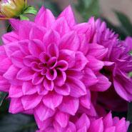 Dahlie, Treue, Blumensprache, Petite Fleur