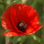 Mohn, Klatschmohn, Blumensprache, Petite Fleur