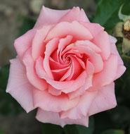 Rose, Romantik, Liebe, Blumensprache, Petite Fleur