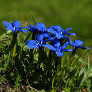 Enzian, Entspannung, Blumensprache, Petite Fleur