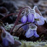 Usambaraveilchen, Zimmerpflanze, Blumensprache, Petite Fleur