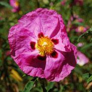 Zistrose, Blumensprache, Petite Fleur