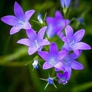 Glockenblume, Dankbarkeit, Blumensprache, Petite Fleur