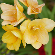 Freesie, Zärtlichkeit, Blumensprache, Petite Fleur