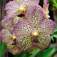 Orchidee, Blumensprache, Petite Fleur