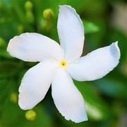 Jasmin, Sinnlichkeit, Blumensprache, Petite Fleur