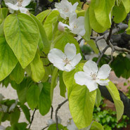 Quitte, Blumensprache, Petite Fleur