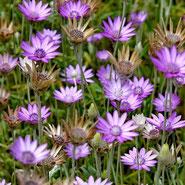 Xeranthemum, Immortelle, Strohblume, Blumensprache, Petite Fleur