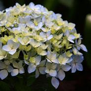Hortensie, Bewunderung, Blumensprache, Petite Fleur