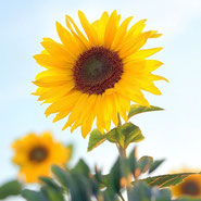 Sonnenblume, Herbst, saisonal, Blumensprache, Petite Fleur