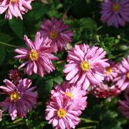 Anemone, Blumensprache, Petite Fleur
