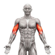 biceps muscle group exercises