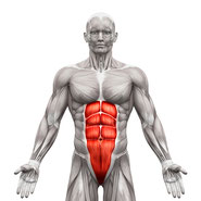 abs abdominals muscle group anatomy