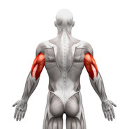 triceps muscle group exercises