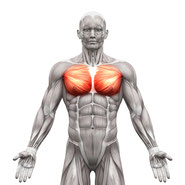 chest muscle group exercises