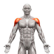 shoulders muscle group anatomy