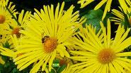 Leuchtend gelbe Blüten der Gemswurz/Gamswurz/Gämswurz inkl. Biene von K.D. Michaelis