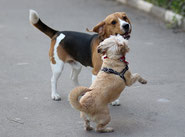 un beagle et un shitzu jouent ensemble sur un trottoir par coach canin 16 educateur canin en charente