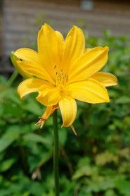 ゼンテイカ (禅庭花) 八重咲き