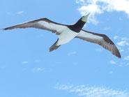 ▲伊豆諸島・小笠原諸島の海鳥ファンに人気の小笠原着発ツアーです。