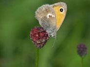 Kleines Wiesenvögelchen. Foto: Karin Probst