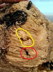 オオクワガタ幼虫の食痕。