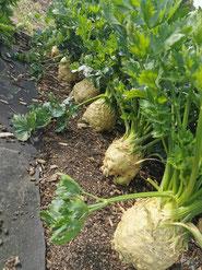 Unter der Erde Kartoffel nachhaltig bio biologisch umweltverträglich regional umweltschonend ungespritzt alte Sorten Ab Hof Direktvermarkter Gemüse Gemüsekiste Kartoffelpflanzen Erdäpfel Jungpflanzen Pflanzenschutz ökologischer Pflanzenschutz Ökologie